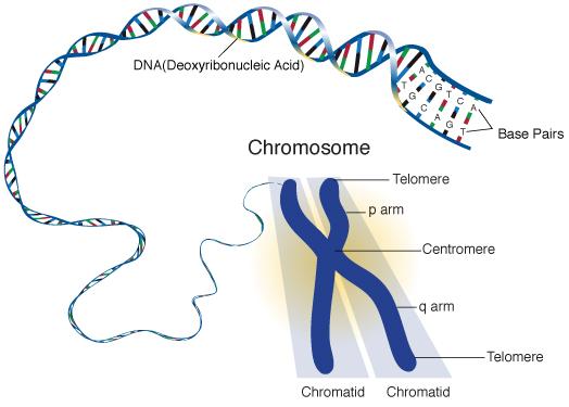 chromosome_sm